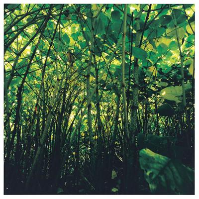 タデ科の植物「イタドリ」(撮影:渡邊耕一)